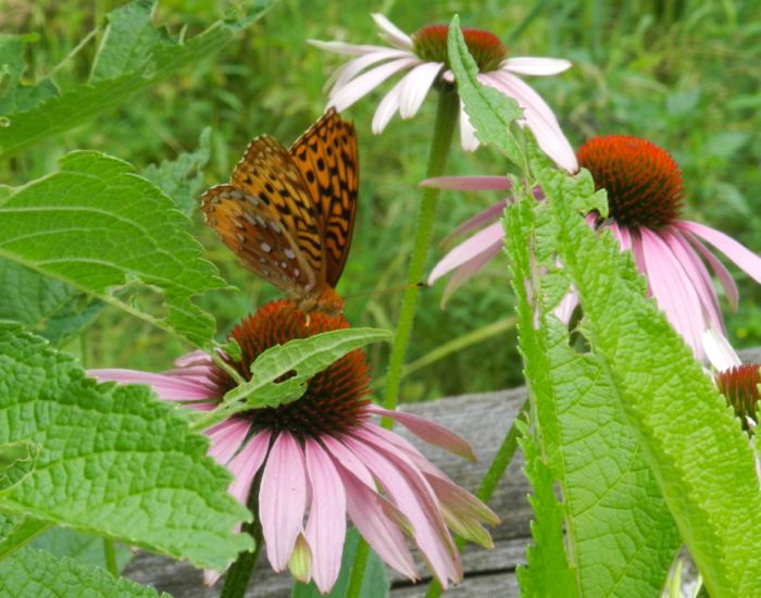 Great Spangled Fritillary on Eastern Painted Coneflower
