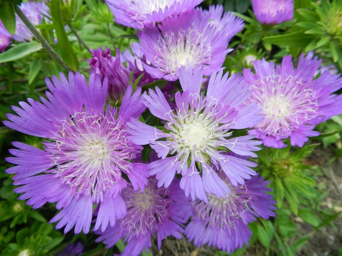Stokesia Purple Parasol