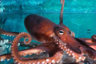 octopus-1