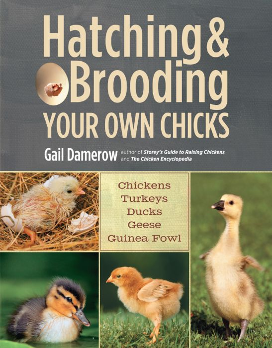 HatchingBroodingChicks