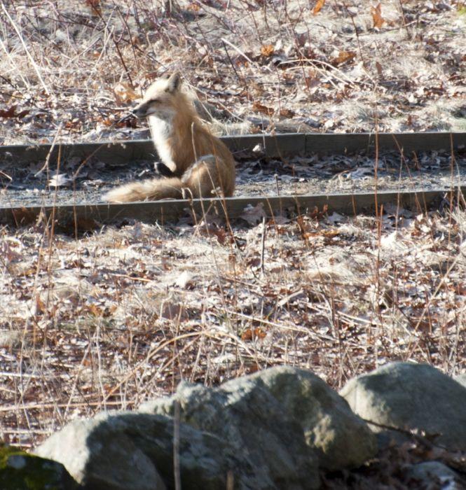 fox neighbor