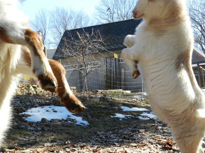 goat rearing