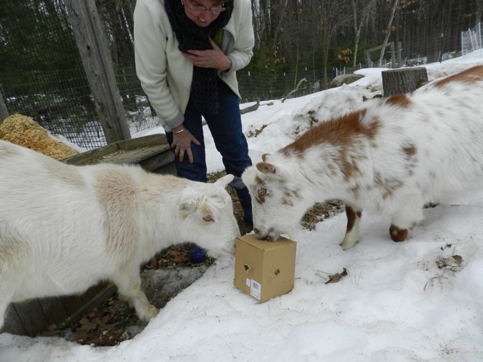 goats with box