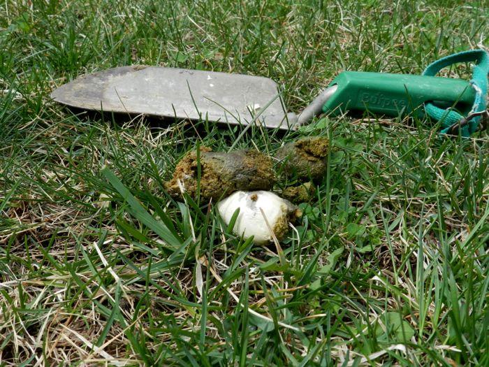 broody poop