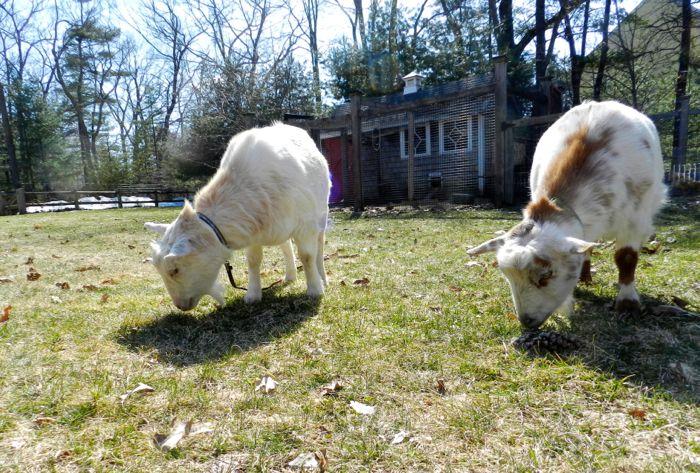 goats eat grass