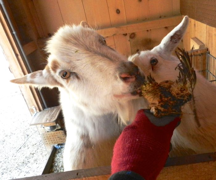goats eating horseradish
