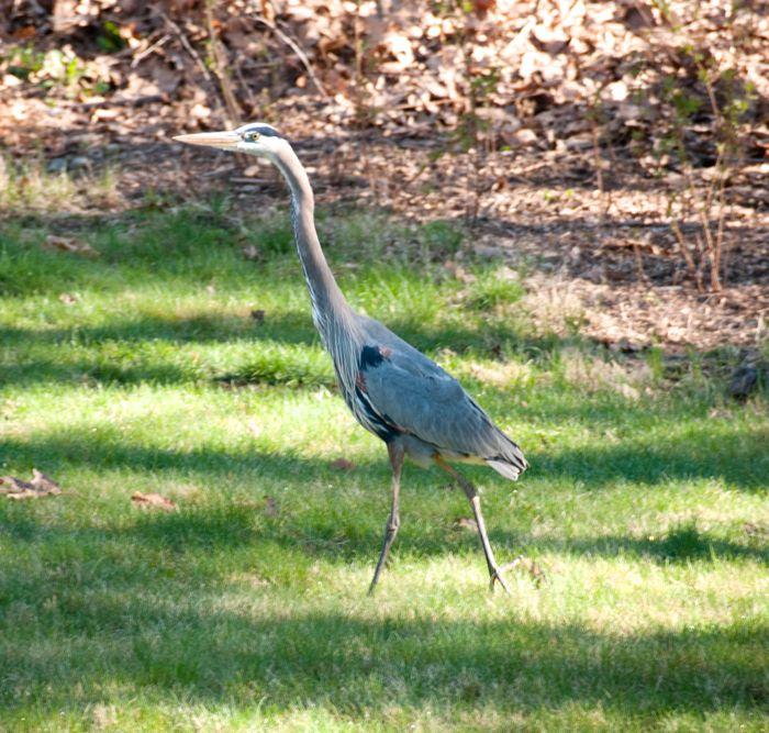 heron on grass