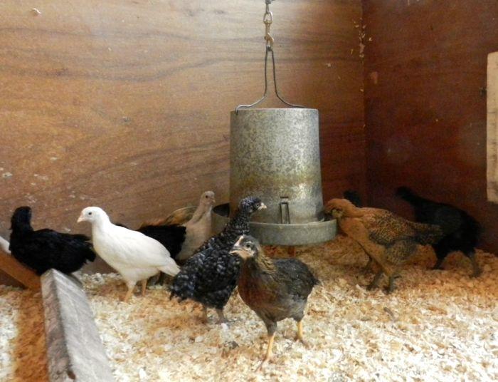 chicks inside feeder