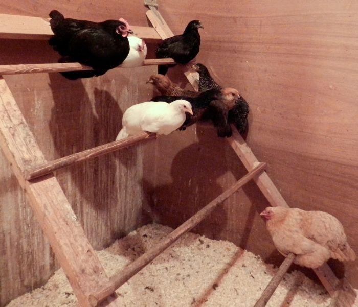 Chicken Bedtime Hencam