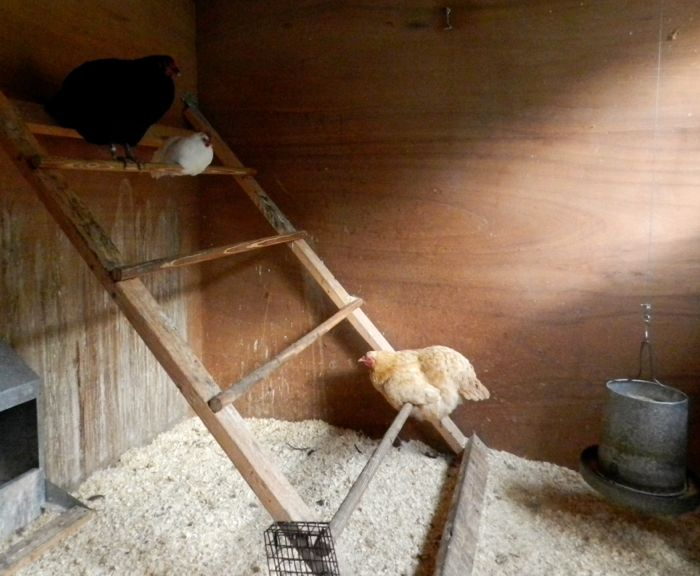 best roost for chickens 3