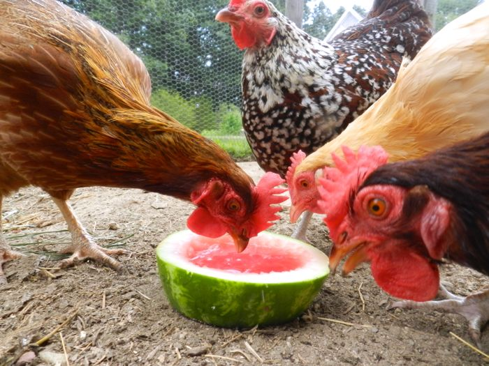 Toys For Chicks : Chickens get bored hencam