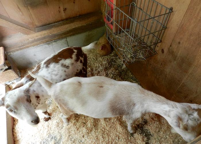 Buffy and goats