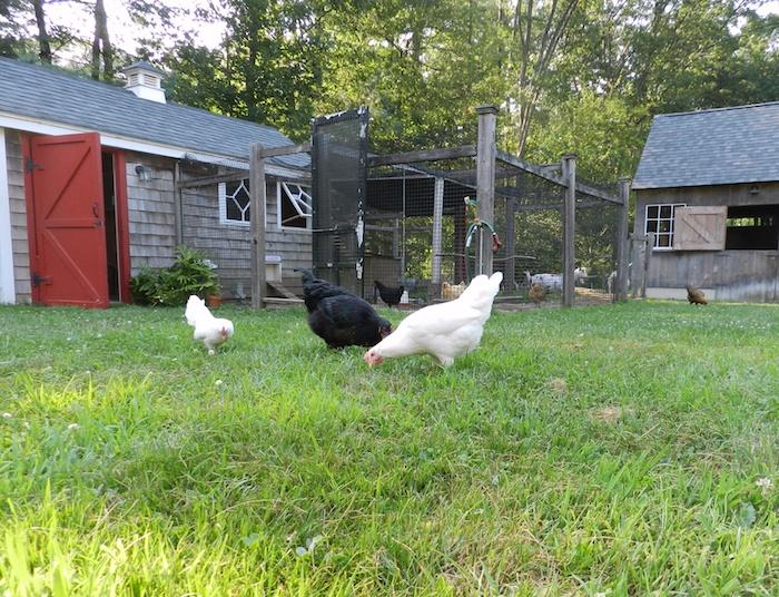 grazing hens