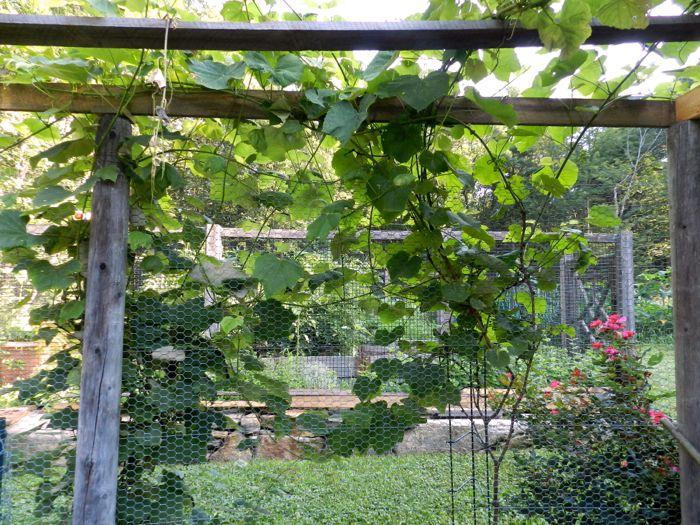 Taming The Grapevine Hencam