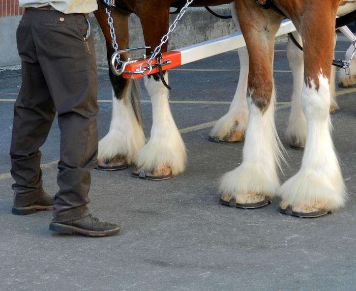 draft horse hooves