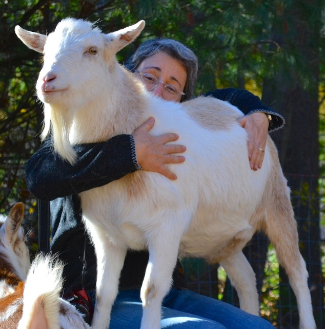 lap-goat (1)