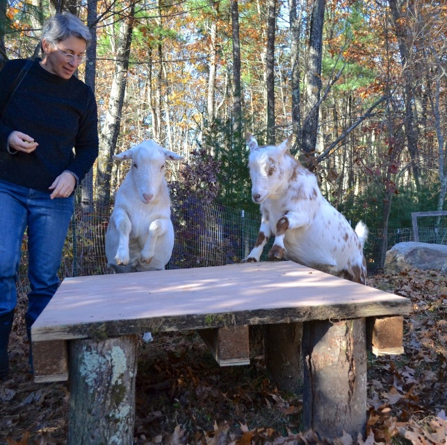 obedient goats