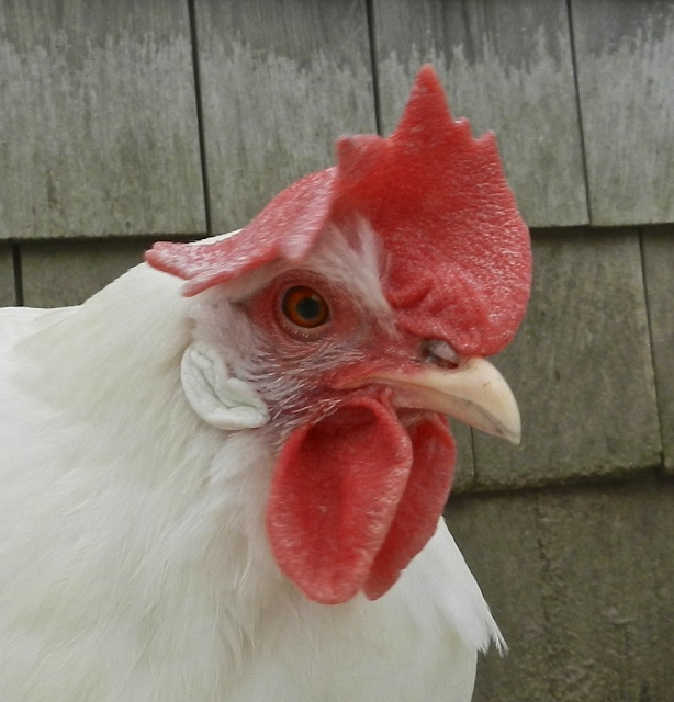 chicken nostril