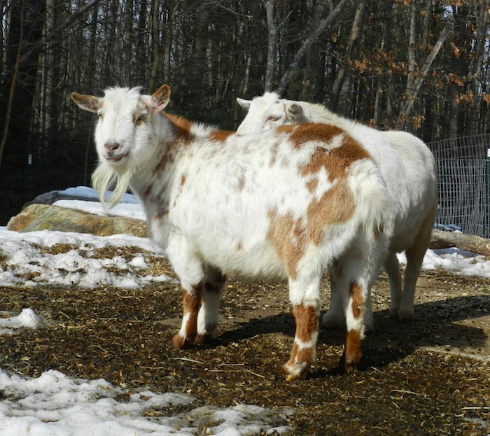 goats with winter coats