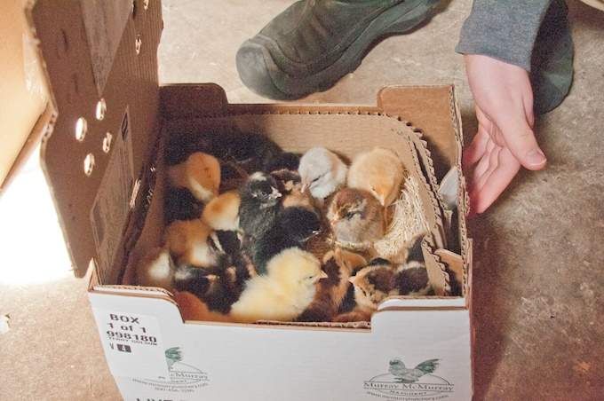 chicks in box