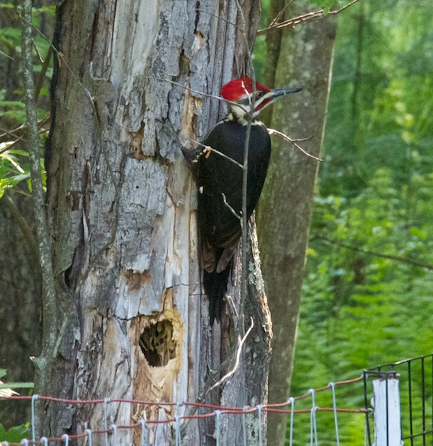 pileated closeup