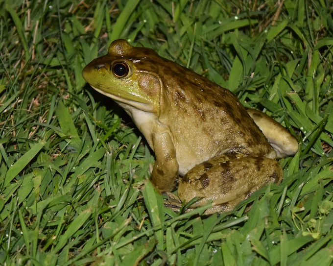 bullfrog in grass
