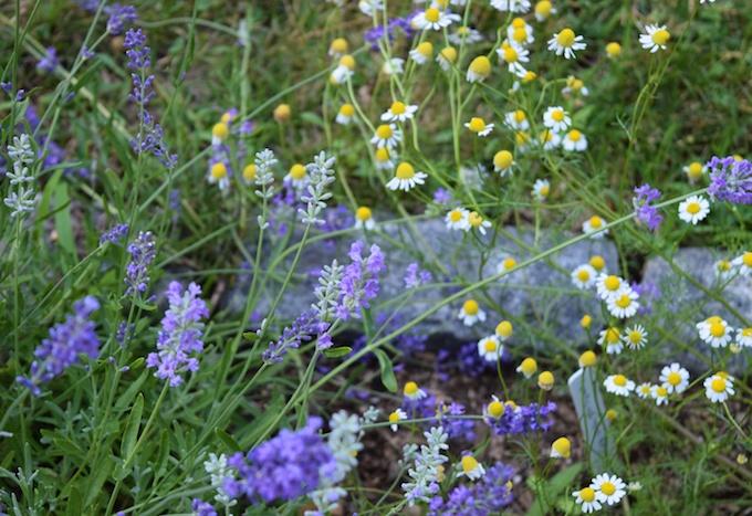 lavendar and chomomile