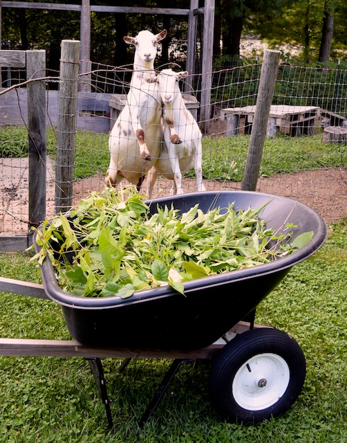 wheelbarrow and goats