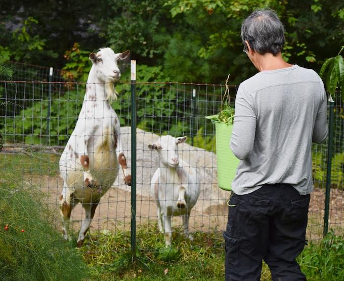 goats await greens