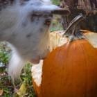 Caper eating pumpkin