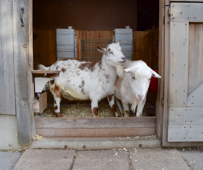 goats jostling
