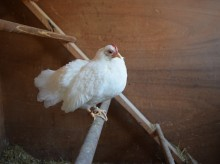 old hen on roost