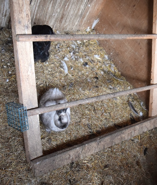 rabbit in coop