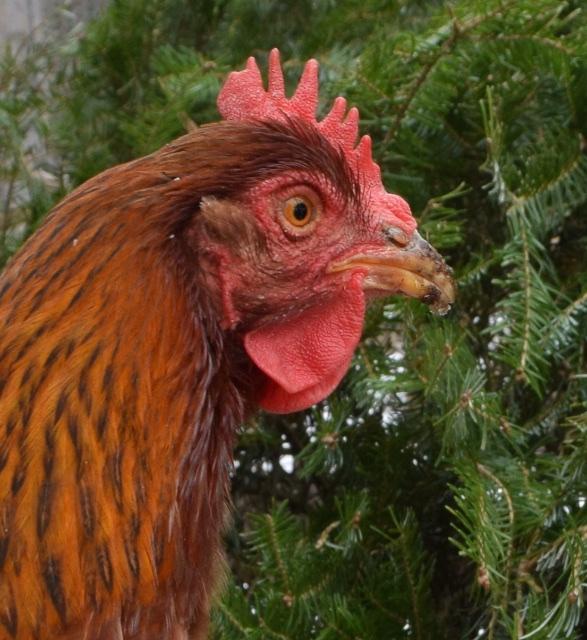 hen comb