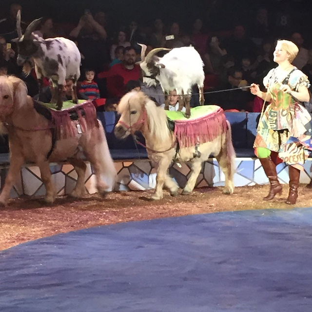 goats on ponies