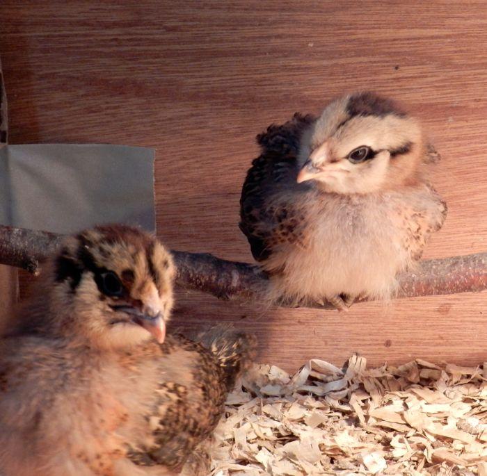 2-week-roost