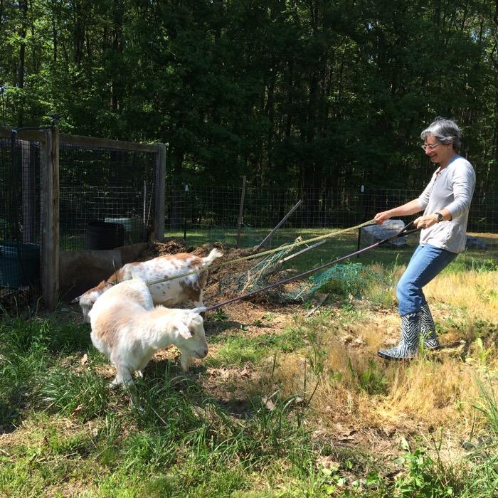 goats pull