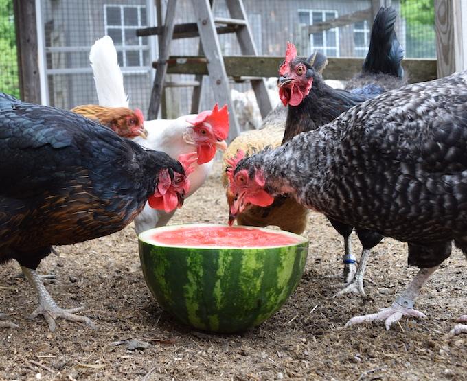 hens eye watermelon
