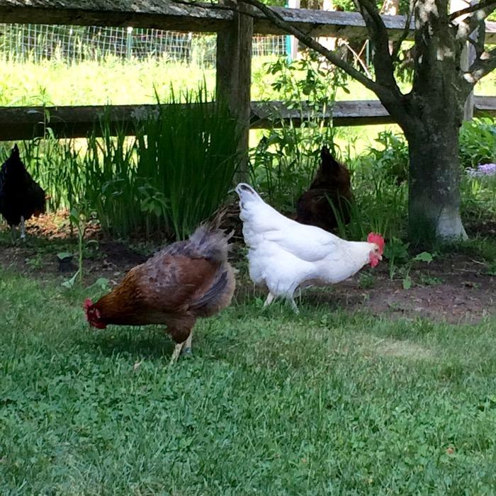 hens under tree