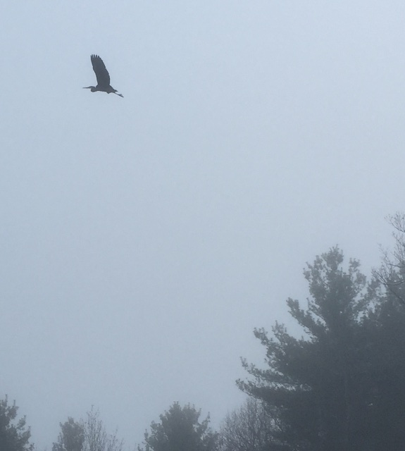 heron flying off