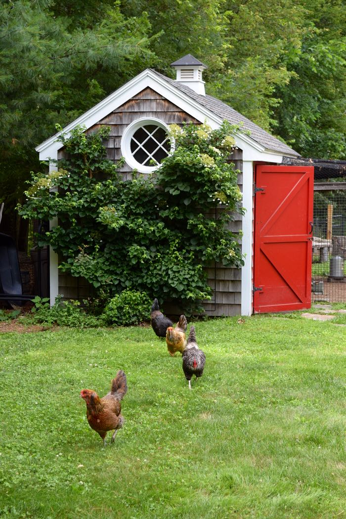 hens on lawn