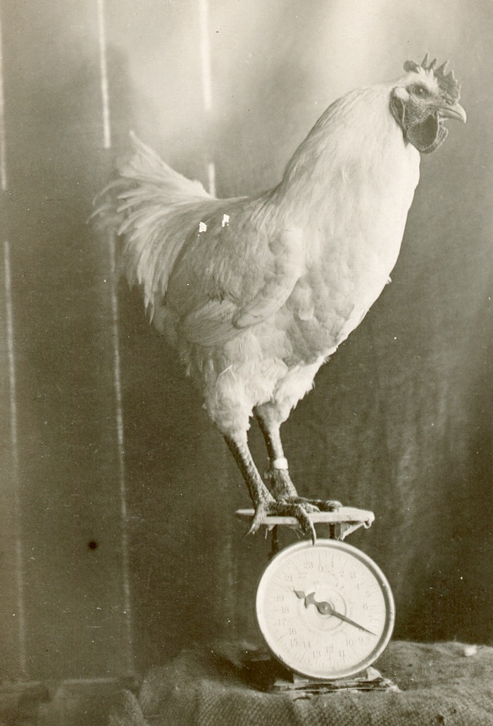 rooster on scale