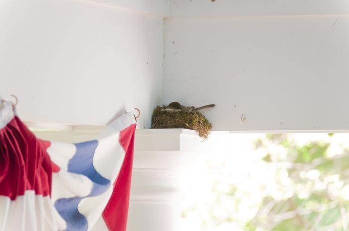 Phoebe on nest