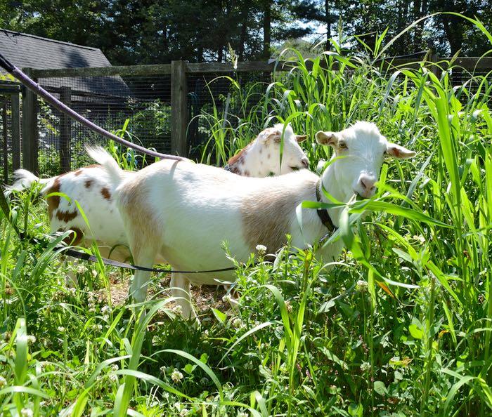 grazing goats