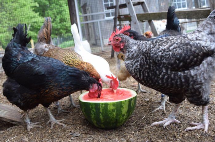 feeding watermelon