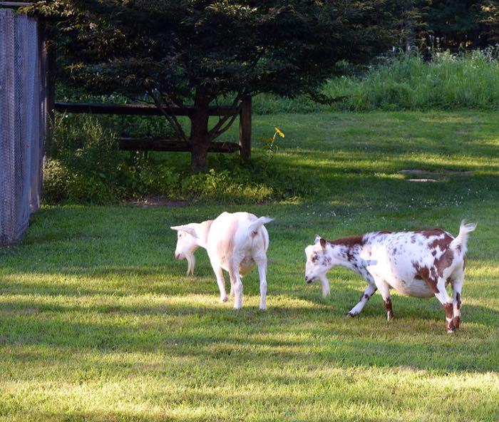 full goats