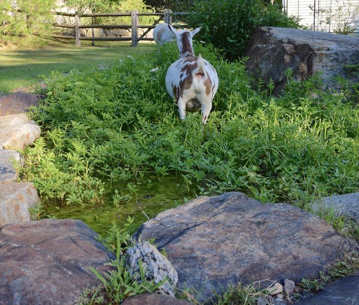 goats in water celery