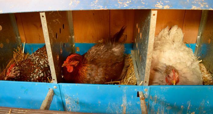 in nesting box