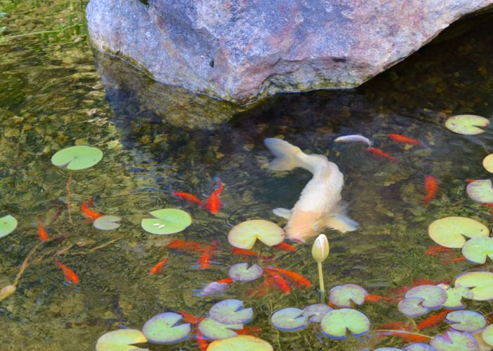 In the pond hencam for What do koi fish eat