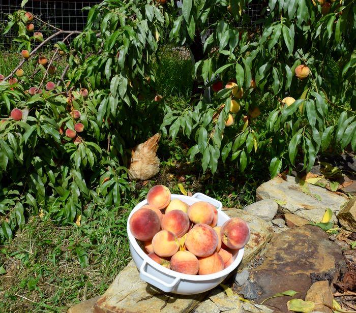 peaches in colander